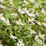 White Anemone nemorosa Royalty Free Stock Images
