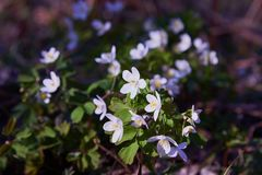 White anemone nemorosa flowers in the forest stock photo