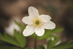 White anemone nemorosa or wood anemone flower Royalty Free Stock Images