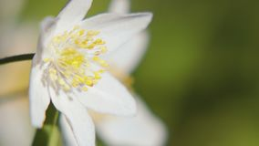 White anemone. Spring flower, blooming in the open air, in the woods. Spring anemone with white petals on blurred background, one flower swinging in the wind stock footage