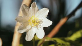 White anemone. Spring flower, blooming in the open air, in the woods. Spring anemone with white petals on blurred background, one flower swinging in the wind stock video