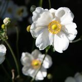 White Japanese anemone flower blooming in garden. White Anemone tomentosa gleaming in evening light with dark background stock photo