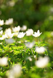 White anemones Stock Photography