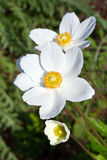 White anemones. Wildflowers which have become prized in the garden Stock Image