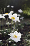 White anemones bloom in the park.  Stock Photography