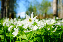 White anemones blooming in forest Stock Photo