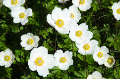 White anemones closeup Stock Photo