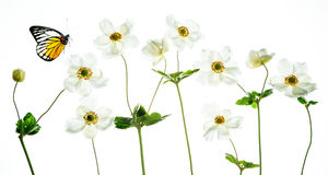 White anemones  with colorful butterfly Royalty Free Stock Photography