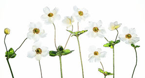 White anemones  with colorful butterfly Royalty Free Stock Image