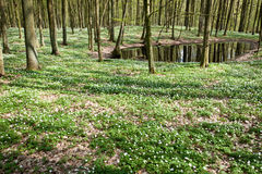 White anemones in forest at pond stock images