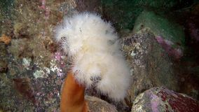 White Anemones Metridium underwater on seabed of Barents Sea. Nature in clean transparent cold water. Wildlife on background of blue marine in Arctic ocean stock video footage