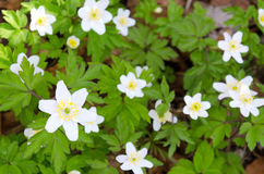 White anemones in Swedish forest Stock Photography