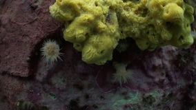 White anemones and yellow sponge on a stone floor. stock video footage