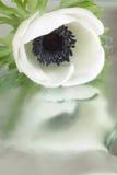 white anemonowy Zdjęcie Stock