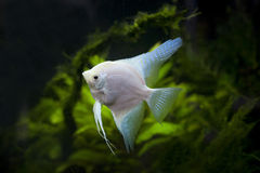 White Angel fish in green aquarium. File of white Angel fish in green aquarium Stock Image