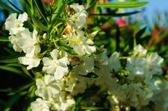 White Angel Flower Stock Image