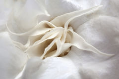 White angel's trumpet Royalty Free Stock Image