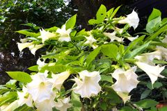 White Angel trumpet. Ist a toxic plant Stock Images