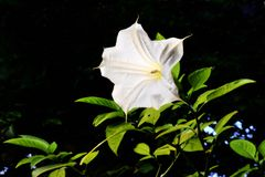 White Angel trumpet Royalty Free Stock Photo