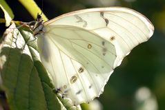 White Angeled Sulfur Butterfly. Anteos clorinde Stock Photography