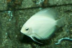 White  Angelfish Royalty Free Stock Photo