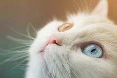White angora cat with blue and yellow different eyes looking up curiously. Beautiful animal heterochromia. Cat eyes closeup in macro photography royalty free stock image