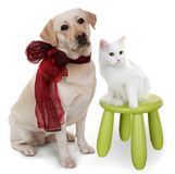 White Angora cat and dog of breed Labrador Stock Image