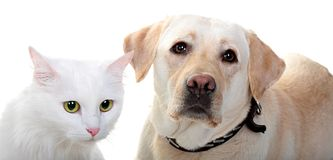 White Angora cat and dog of breed Labrador Stock Image