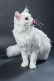 White angora cat 01 Royalty Free Stock Images