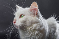 White angora cat 03 Royalty Free Stock Image