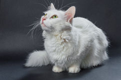White angora cat 04 Royalty Free Stock Photography