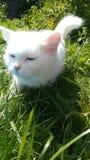 White angora cat Stock Photo
