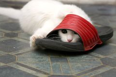 White Angora cat plays with red footwear Royalty Free Stock Images