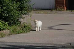 A white angora cat walks outdoors stock photography