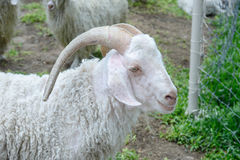White angora goat Royalty Free Stock Photography