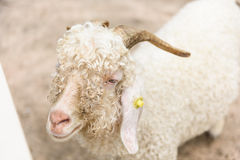 White angora goat (Capra aegagrus hircus) in the stall Royalty Free Stock Photography