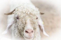 White angora goat (Capra aegagrus hircus) in the stall Stock Photo
