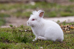 White angora rabbit sitting outdoors in the wild. Side view stock photo