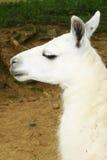White animal Stock Photos