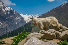 White Animal on Cliff at Daytime Stock Photography