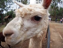 White animal looks similar to ALPACA or LAMA. Wide angle fisheye lens close-up making funny image of a small size cute little white animal looks similar to Stock Photo