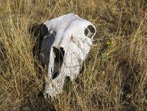 White animal skull on dry hay. Close-up of white animal skull on dry hay stock photo