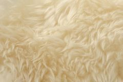 White animal wool texture background. Beige tint natural wool. Close-up texture of plush fluffy fur.  royalty free stock photo