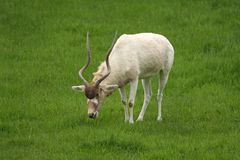 White Antelope, Addax Stock Photography