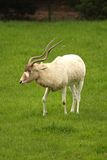 White Antelope, Addax Stock Images