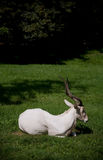 White antelope Stock Photography
