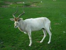 White antelope standing in savanna. Royalty Free Stock Photos