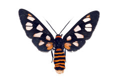 White Antenna Wasp Moth, Amata nigriceps Stock Image