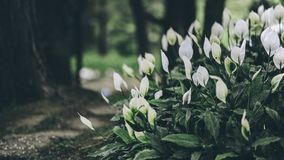 White Anthorium Flowers Near Brown Soil in Tilt Shift Lens Photography Royalty Free Stock Photography