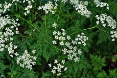 White Anthriscus chervil blooming flower on green leaves background stock photos